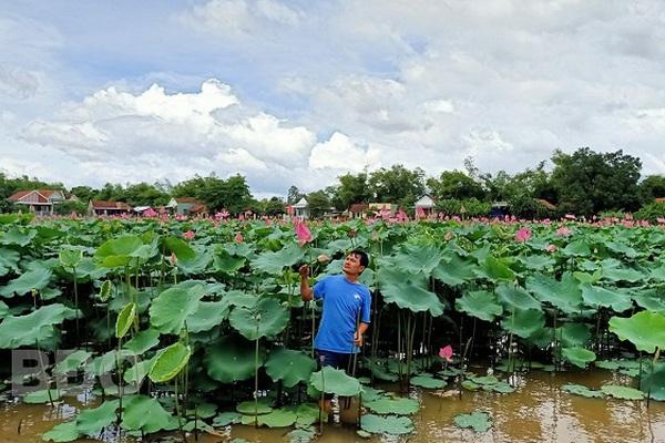 Bình Định: Bỏ cấy lúa, trồng loài cây lá to như cái thúng, chả tốn công chăm, hái thứ gì cũng bán được ra tiền