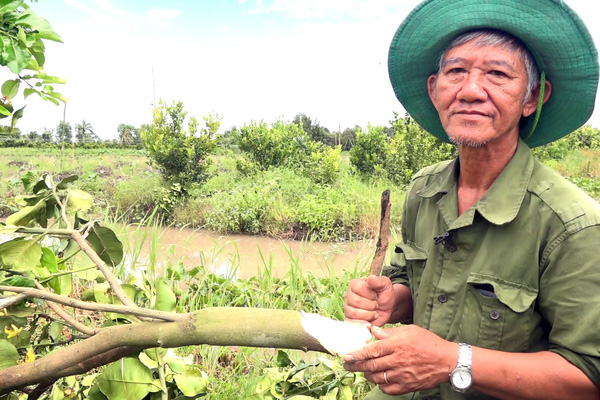 Hậu Giang: Hỗ trợ bưởi Năm Roi nhưng trồng ra bưởi Lông Cổ Cò, nông dân bất ngờ, người cung cấp cây giống nói gì?