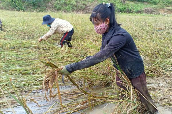 """Quảng Trị: Mưa chưa dứt, người dân vẫn lội đồng tranh thủ """"mót"""" lúa"""