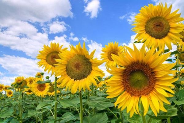 5 loài hoa phong thủy rực rỡ, bày trong nhà, vừa nhìn đã thấy vận may tỏa sáng
