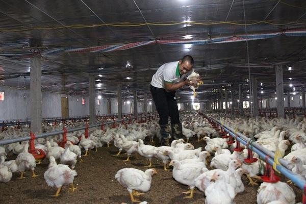 """Giá gia cầm hôm nay 30/10: Gà thịt công nghiệp rớt liền mấy giá, người nuôi vịt thịt """"khóc ròng"""" vì ế ẩm"""