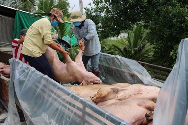 """Cuối năm là mùa làm ăn, thế mà nhiều loại dịch bệnh khó chữa vẫn """"không tha"""" người chăn nuôi"""