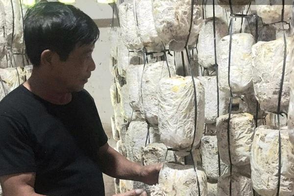 Phú Thọ: Lôi thứ vứt đi ngoài đồng về nhà để trồng loài cây ăn ngọt như mì chính, nông dân thu tiền tỷ