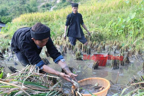 Hà Giang: Nông dân nuôi cá chép trong ruộng bậc thang ở trên núi cho khách du lịch lội bùn bắt rất vui
