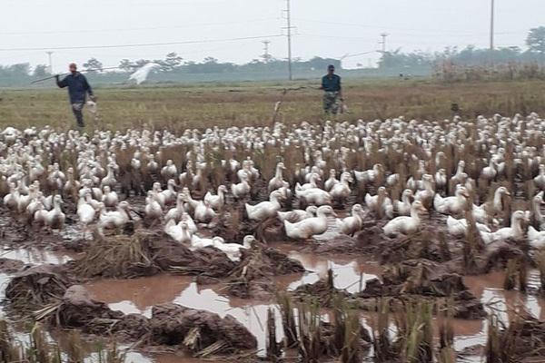 Giá gia cầm hôm nay 28/11: Vịt chạy đồng ế ẩm, giá gà thịt công nghiệp có xu hướng giảm