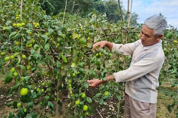 Điện Biên: Trồng thứ táo lê cho trái to đùng, ăn giòn tan, ngọt lịm, một ông giám đốc nông dân phát tài