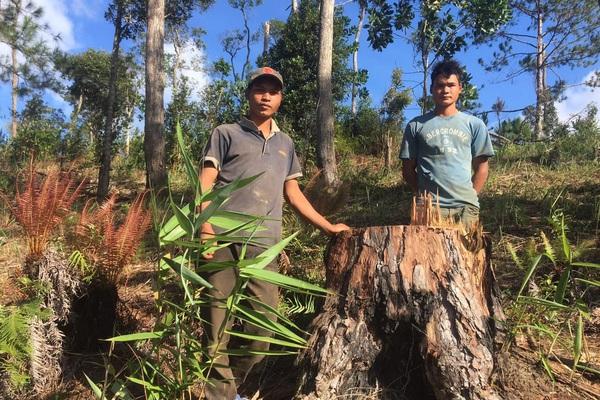 Bắt tạm giam một đối tượng, điều tra vụ phá rừng, cưa hạ 29 cây thông 3 lá