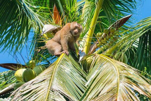 Phục sát đất chú khỉ thông minh hái hơn 20 trái dừa trong 15 phút