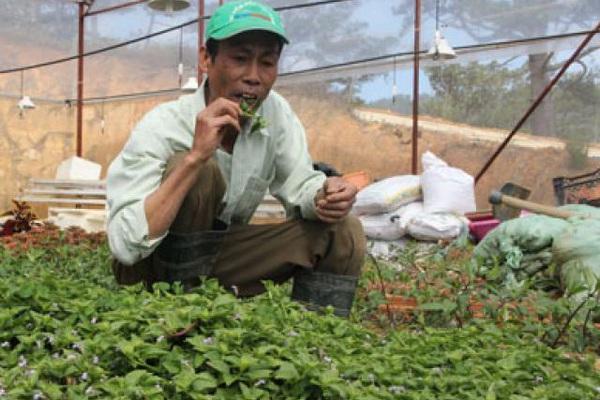 Trồng 100m2 rau rừng vốn mọc dại, thu hơn 40 triệu đồng 1 năm