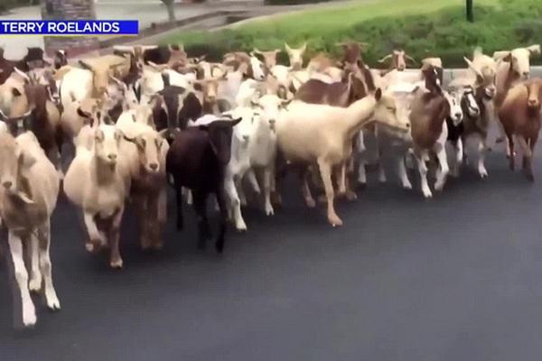 Lạ: 200 con dê xổng chuồng, tràn xuống đường phố California vì quá đói