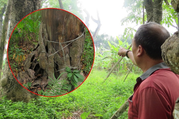 """""""Lập lờ"""" đơn giá di dời 106 cây xanh bị bỏ rơi"""