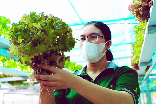 Kiên Giang: Mặc nắng nóng, trồng rau thủy canh, nuôi nấm trong nhà mà cho lãi cao