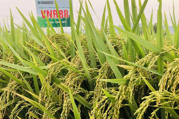 """Mới sản xuất thử, 2 giống lúa VNR88 và J01 đã """"được lòng"""" dân xứ Mường"""