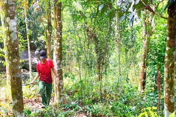 """Quảng Ngãi: Đề án vùng trồng chuyên canh quế 500 ha """"chết yểu"""", lãnh đạo huyện trải lòng"""
