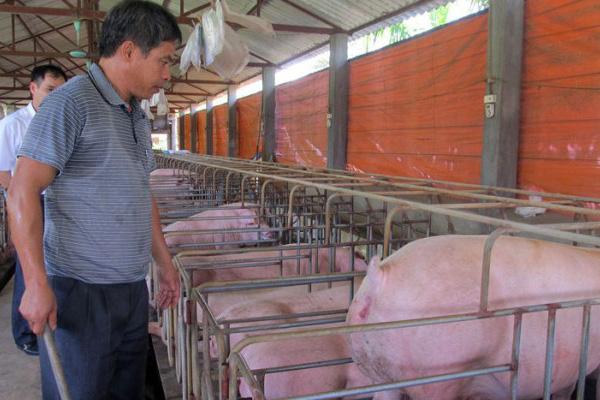 """Mỗi con lợn lãi 5 triệu đồng, lão nông Kinh Bắc có gần 1.000 con lợn thấy """"áy náy"""" với người tiêu dùng"""