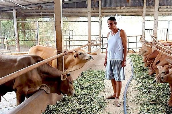 An Giang: Trồng 2 loại cỏ sợ nước, rễ dài 2m để nuôi đàn bò to, chả mấy mà giàu