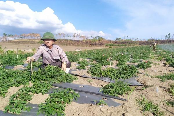 Trồng thứ cây thuốc bổ ra củ quý, dân ở đây gọi là nhân sâm Phú Yên