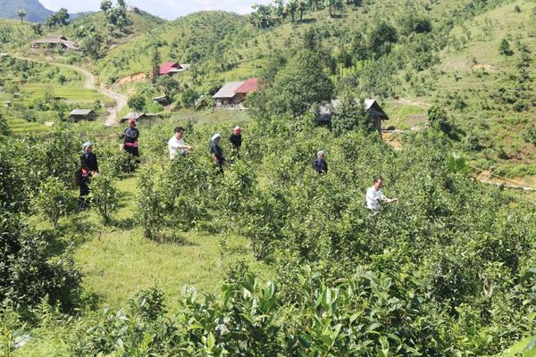 Ngắm những đồi chè Tuyết Shan hữu cơ xanh mơn mởn, một năm hái 1.900 tấn búp