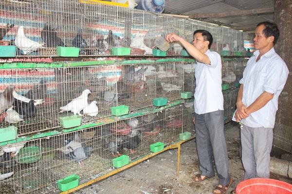 Bắc Kạn: Nuôi chim bồ câu làm giàu không khó