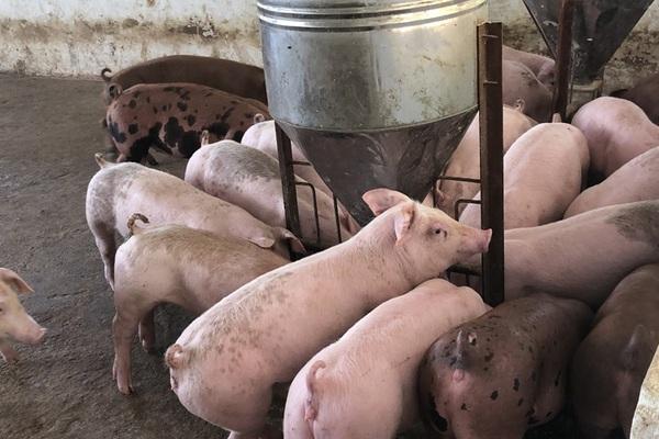 """Giá heo hơi hôm nay 6/6: 80% đàn lợn cụ kị, ông bà trong tay 15 ông lớn, nông hộ """"đói"""" lợn giống"""