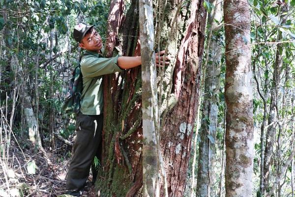 Vùng đất cây gỗ pơ mu quý hiếm mọc dày đặc, giữ như giữ vàng mà lâm tặc vẫn rình mò ngày đêm