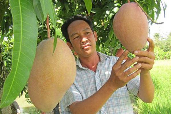 """Hậu Giang: """"Liều"""" trồng giống xoài lạ hoắc, trái to bự, màu bắt mắt, dịch Covid-19 """"lay"""" như thế mà không """"rụng giá"""""""