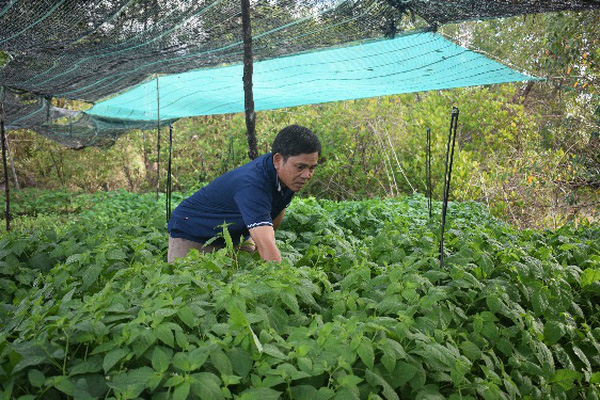 """Cà Mau: Tận dụng bờ vuông tôm trồng """"lung tung"""" các thứ rau mà bán được 500 ngàn/ngày"""