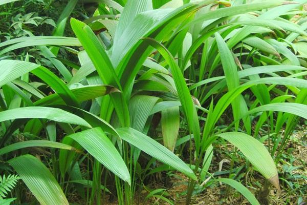Đây là loài sâm hoang giúp tăng cường sinh lý nam giới mà tỉnh Hà Giang đang nhân giống