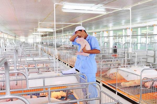 Giá thịt lợn tăng, đại gia chăn nuôi lãi trăm tỷ, cơ hội việc làm ngành chăn nuôi thú y rộng mở