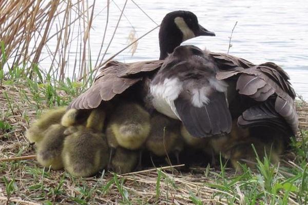 """""""Mẹ"""" ngỗng Canada nổi tiếng đông con nhất thế giới khiến hàng triệu triệu cư dân mạng ráo riết săn lùng"""