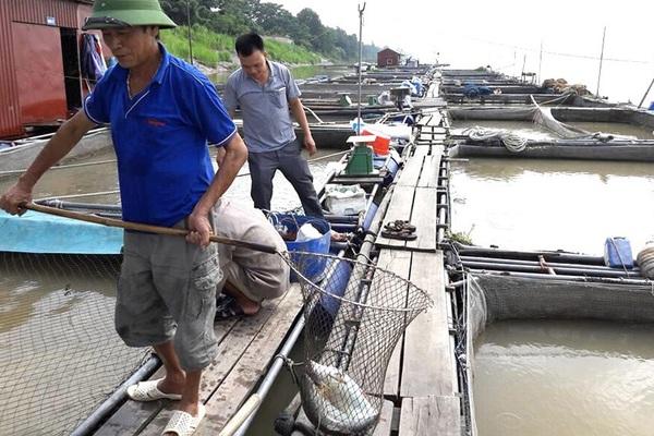 Phú Thọ: Thuần dưỡng loài cá quý hiếm trên sông Đà, muốn ăn ngon phải chờ vài năm