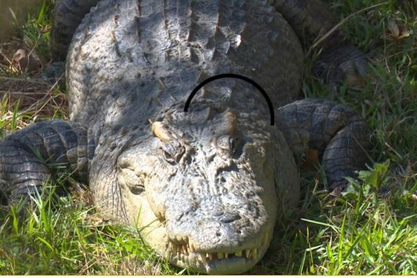 """Đắk Lắk: Đàn cá sấu xiêm quý hiếm toàn con """"siêu to khổng lồ"""" bên hồ Lắk"""