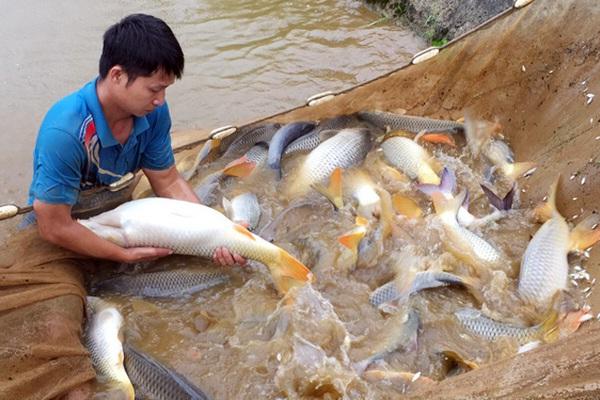 """Xem những người đàn ông vạm vỡ hành nghề """"đỡ đẻ"""" cho đàn cá chép to bự ở Lào Cai"""