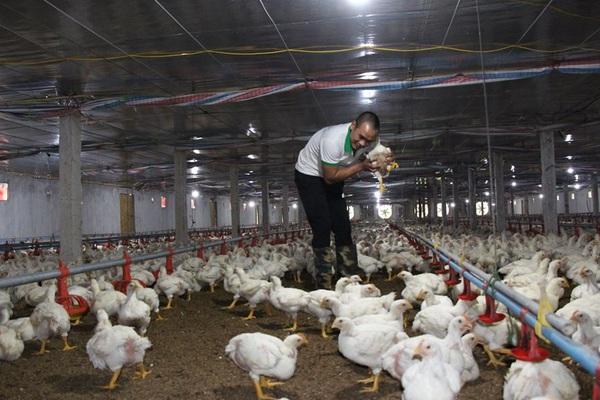 """Giá gia cầm hôm nay 2/8: Giá gà trắng """"bốc hơi"""" 5.000 đồng/kg, vịt thịt bán chậm"""