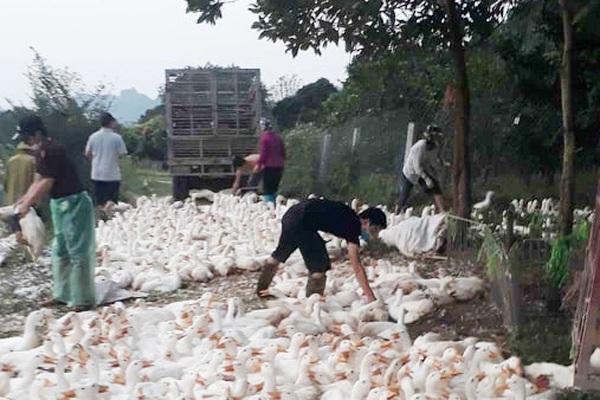 Giá gia cầm hôm nay 10/8: Giá vịt thịt miền Bắc giảm sâu, gà trắng bán chậm, con giống loạn giá