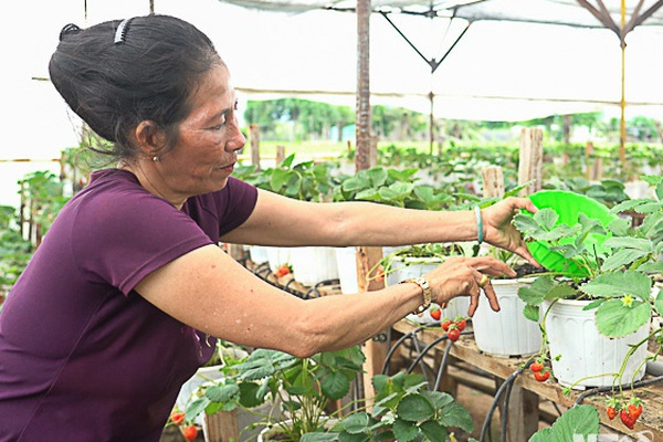 Chuyện lạ Ninh Thuận: Cứu sống vườn dâu tây chỉ bằng 1 lon sữa uổng dở vứt đi của đứa cháu