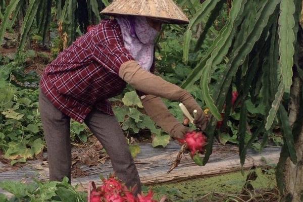 Thanh long chín ế đỏ vườn, nông dân Đồng Nai lao đao