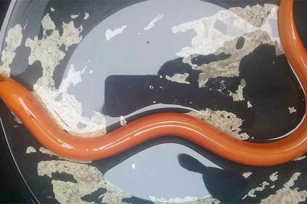 Hà Tĩnh: Tóm được con lươn vàng quý hiếm khi đi bắt ốc bươu vàng