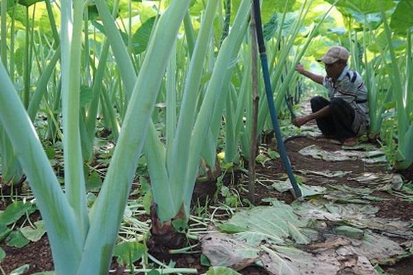 Đồng Nai: Trồng cây tai voi lớn, lạ mà quen, nông dân bỏ túi trăm triệu đồng/năm