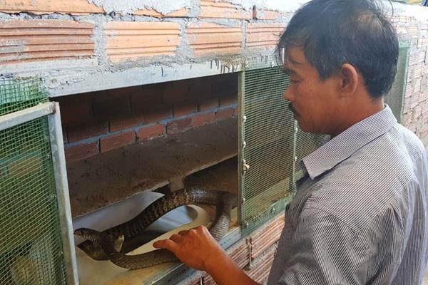 Phú Yên: Nuôi loài rắn dài ngoẵng ăn ít, đưa tay vơ được cả đống, cứ bán 1 con thu 800 ngàn đồng