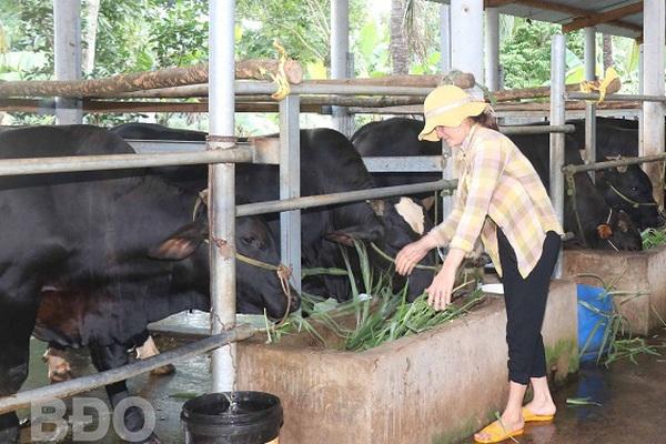 Bình Định: Làm chung 1 nghề nuôi vỗ béo những con bò to lớn, cả làng này ngày càng thịnh vượng