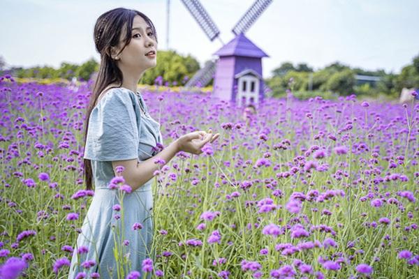 Có một cánh đồng hoa oải hương thảo đẹp ngất ngây ở Hà Nội
