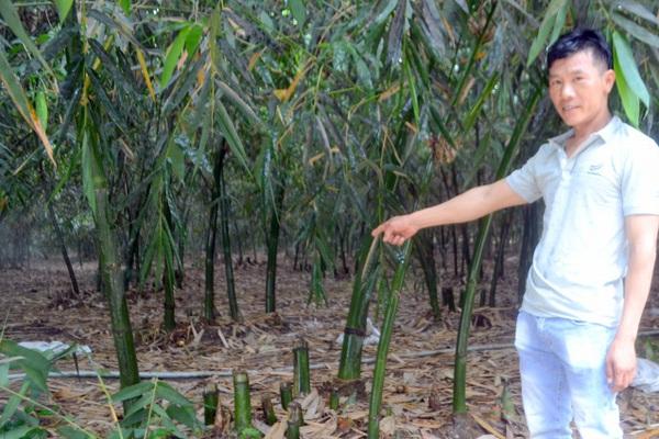 Tỷ phú nông dân rủ cả làng làm giàu bằng cách trồng bạt ngàn tre lấy măng