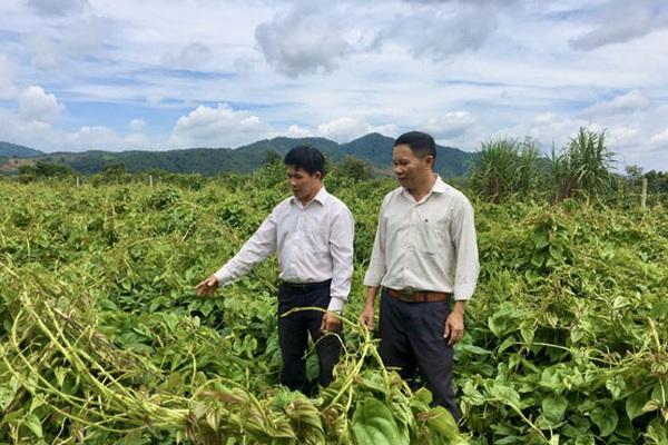 Đắk Lắk: Dân ở đây trồng cây thuốc ra củ rõ dài, cứ 1 sào đào 8 tấn củ, bán lời tới 50 triệu đồng