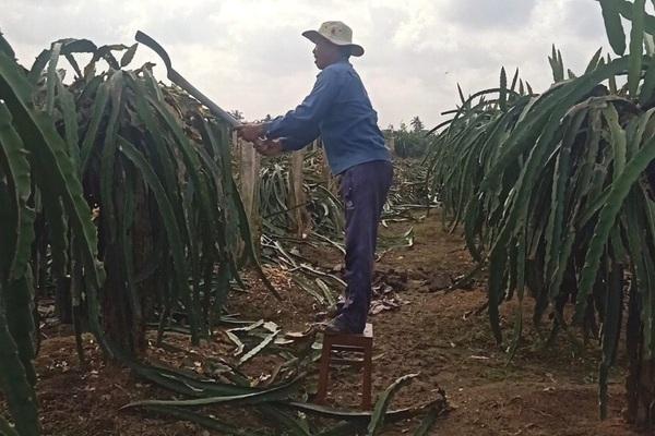 """Long An: Thanh long hết thời hoàng kim, nông dân chặt bỏ, định thay bằng… """"cây bê-tông"""", là cây gì?"""