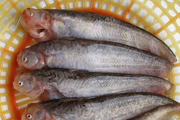 Loài cá trèn sứt môi một thời có nhiều kênh rạch miền Tây hóa ra giờ thành đặc sản, nấu kiểu gì cũng ngon
