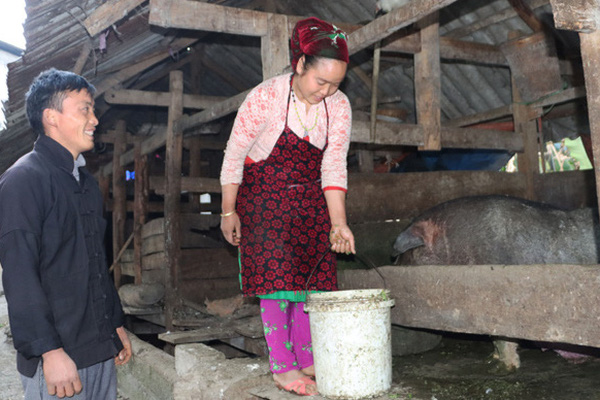 Hà Giang: Lợn Lũng Pù là giống lợn gì mà nông dân đang nuôi vài chục ngàn con vẫn không đủ bán?