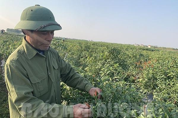 Hải Dương: Giá ớt tươi tăng cao gấp 8 lần, trồng 1 sào nông dân lãi 24 triệu đồng ngon ơ