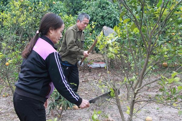 Bắc Giang: Vì sao dân một xã ở huyện Lục Nam đau xót buộc phải chặt hạ, phá bỏ 70ha trồng cam?