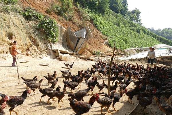 Một nông dân tỉnh Lào Cai nuôi la liệt con đặc sản bay nhảy khắp đồi và trồng rau mà thành tỷ phú